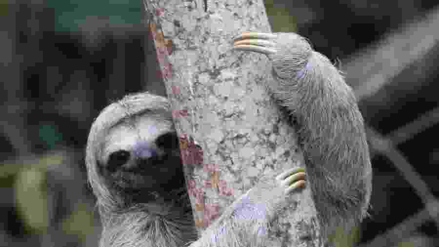 Se as preguiças não tivessem passado a viver em ambientes quentes e úmidos, elas poderiam se movimentar mais rapidamente - iStock