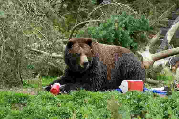Os ursos podem ser atraídos por comida no acampamento: a regra é colocá-la distante e, preferencialmente, suspensa - Getty Images - Getty Images