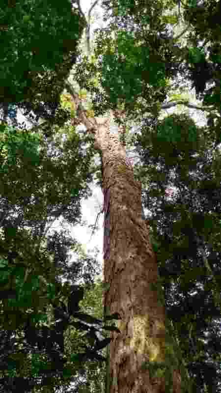 Exemplar de Angelim Vermelho; cientistas identificaram que espécie é a árvore mais alta na Amazônia - Divulgação/Jhonatan dos Santos - Divulgação/Jhonatan dos Santos