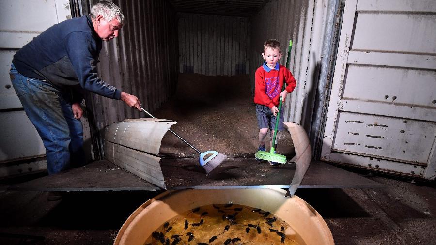 Austrália está lidando com uma infestação de ratos - Saeed KHAN / AFP