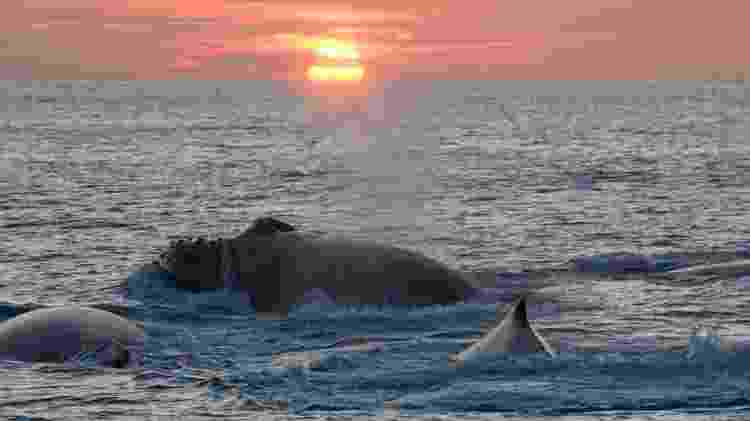 Baleias jubarte, em Abrolhos  - Projeto Baleia Jubarte/Divulgação