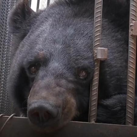 Urso confundido com cachorro da raça mastim tibetano - CGTN
