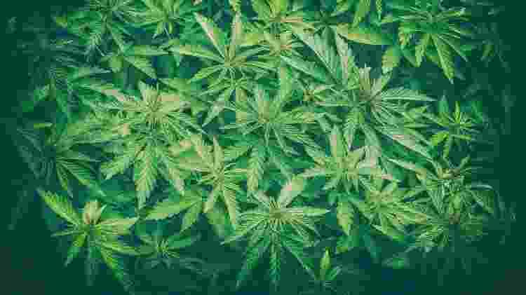 Plantação de maconha - getty images - getty images