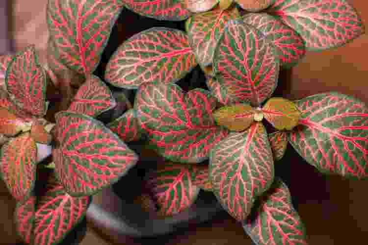 Fitônias (Fittonia albivenis)  - Getty Images/iStockphoto - Getty Images/iStockphoto
