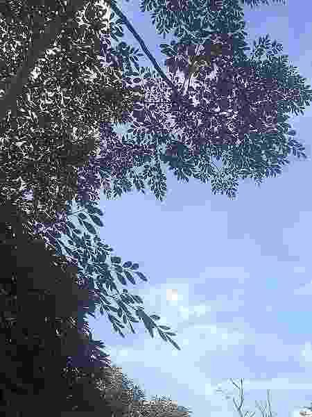 A árvore de moringa do Cafundó alivia dores e ajuda a curar machucados. - Acervo pessoal  - Acervo pessoal