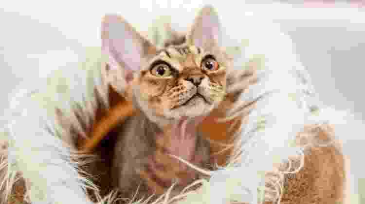 Filhote de gato da raça devon rex, uma das que, em teoria, poderiam ser toleradas por pessoas alérgicas - Getty Images - Getty Images