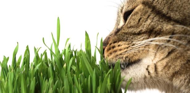 """Gatos comem """"matinhos"""" para aliviar desconfortos causados pelas bolas de pelo - Getty Images"""