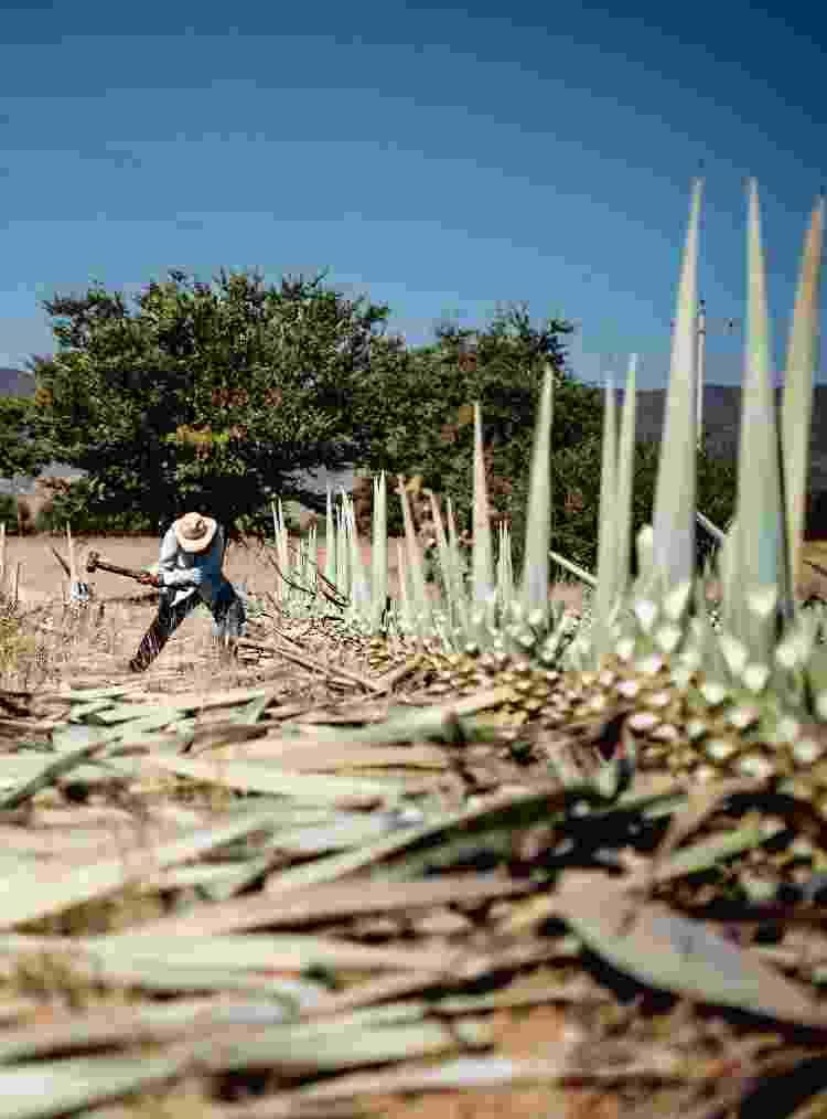 Corte do agave-azul para a produção da tequila, no México - Shannon Sturgis - Shannon Sturgis