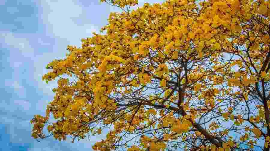 O ipê é uma das madeiras do Brasil mais cobiçadas no mercado internacional atualmente - Getty Images