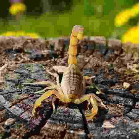 Acidentes com escorpião amarelo, espécie mais comum do animal, aumentaram nos últimos dez anos - iStock