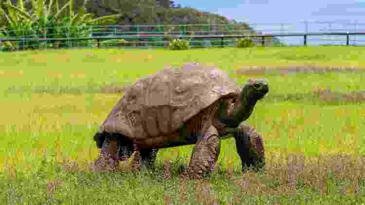 Jonathan, a tartaruga de quase 200 anos, na Ilha Santa Helena  - St Helena Tourism - St Helena Tourism