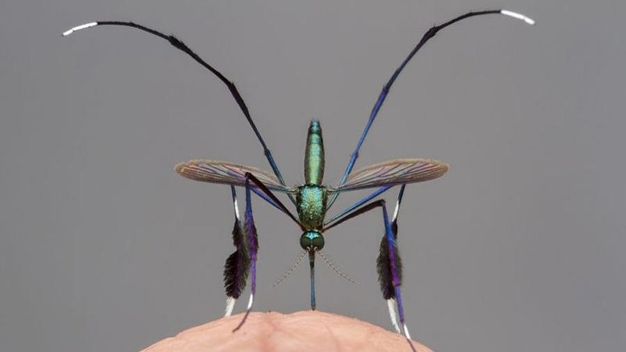 Mosquito Sabethes: apenas as fêmeas se alimentam de sangue e somente quando estão prestes a botar ovos - GIL WIZEN/WPY