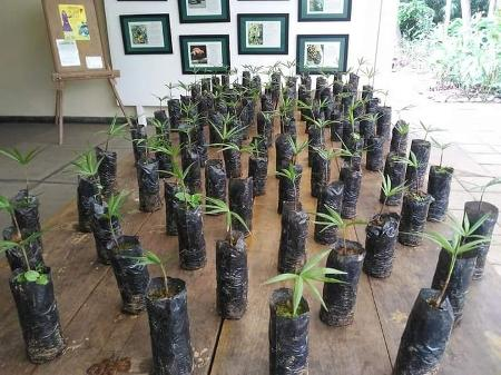 Mudas de juçara usadas em reflorestamento para evitar extinção da espécie no ES - Divulgação - Divulgação