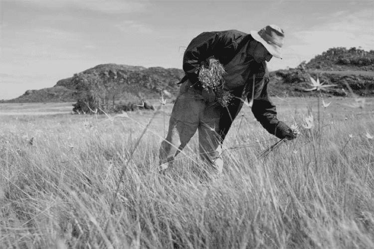 Apanhadores fazem uso de técnicas sustentáveis - João Roberto Ripper/imagenshumanas - João Roberto Ripper/imagenshumanas