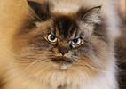 Internet ganha seu gato-celebridade mais rabugento. Conheça o Merlin - Reprodução/Instagram
