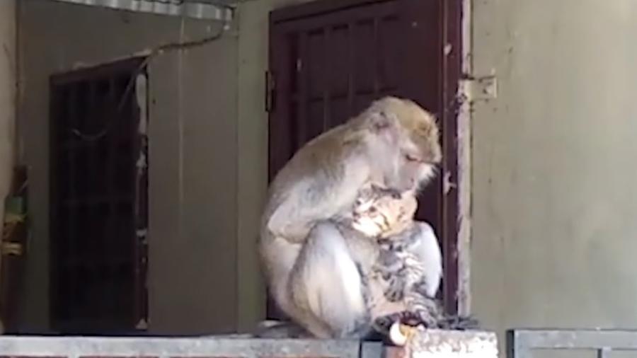 Macaco abraça e tira piolhos de filhote de gato - Viral Press/Reprodução YouTube