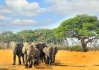 Toxinas naturais teriam causado a morte de centenas de elefantes em Botsuana - paulafrench/Getty Images/iStockphoto