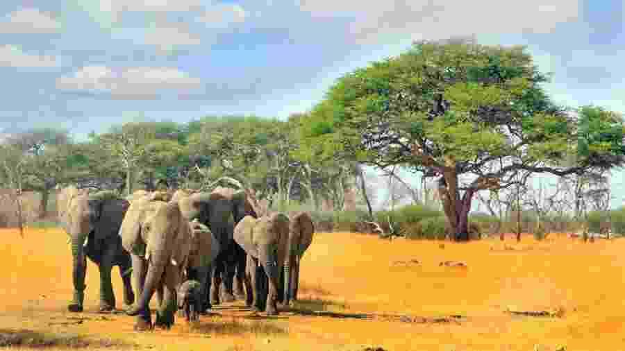 Elefantes no Hwange National Park, Zimbábue - paulafrench/Getty Images/iStockphoto