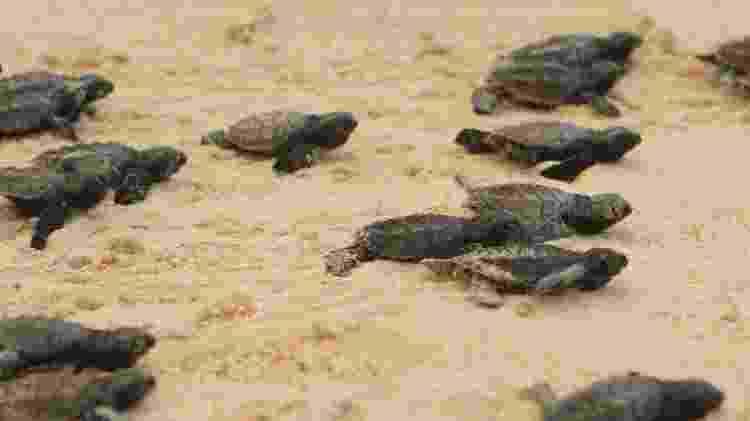 A soltura de tartarugas pode ser acompanhada pelos turistas em Ipojuca  - Vinícius Lubambo/Divulgação - Vinícius Lubambo/Divulgação
