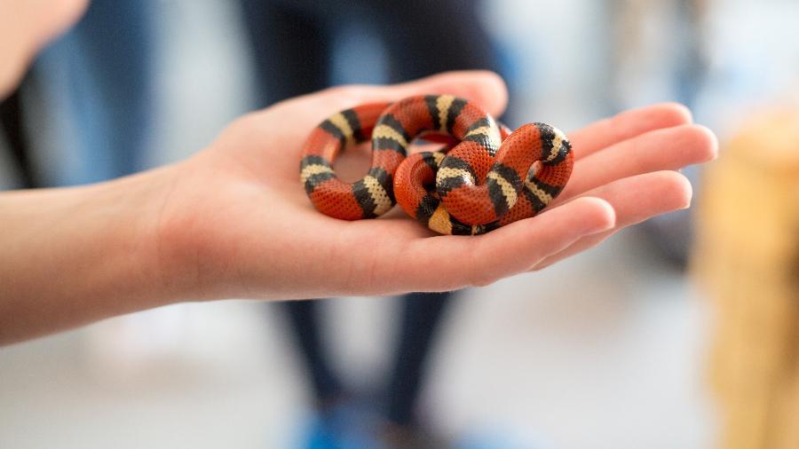 Cobra coral manuseada em curso (imagem ilustrativa) - Getty Images/iStockphoto