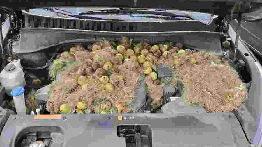 Esquilo coloca mais de 200 nozes em Kia Sorento - Reprodução