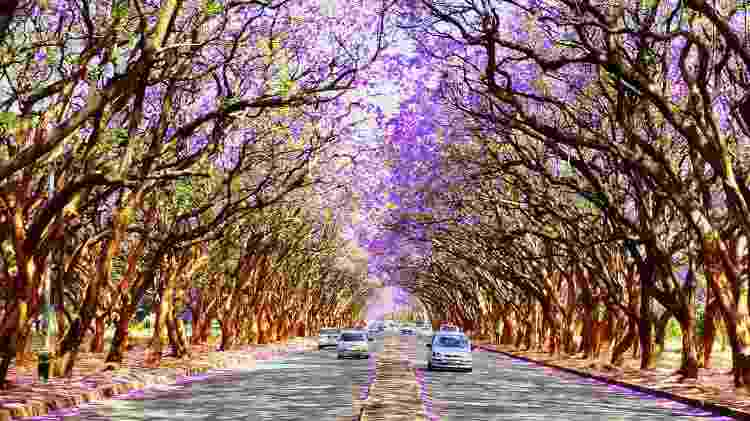 Árvores de jacarandá nas ruas de Harare, Zimbábue, enchem os olhos de quem passa pela cidade urbanizada - Getty Images