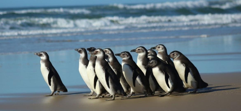 Pinguim-de-magalhães - Nilson Coelho/Agência Petrobras