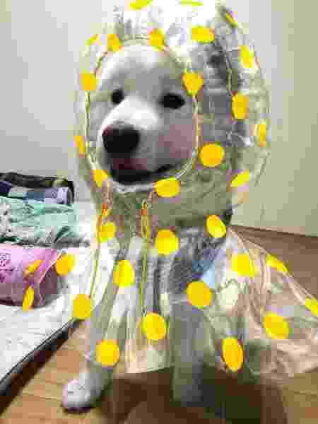 Cachorrinho usa capa de chuva para passear na rua - Reprodução/Instagram @samoyed_ppaekkom