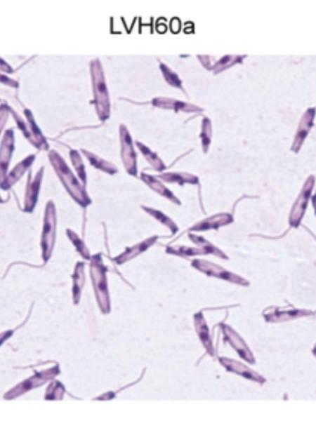 O novo parasita, a Cridia Seripensis - Alynne Karen Mendonça de Santana
