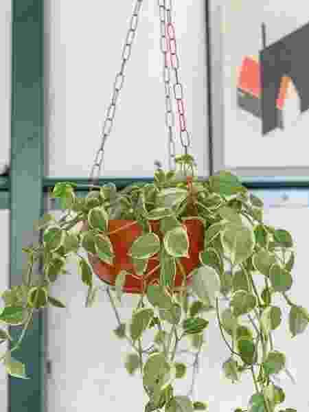 Peperômia filodendro - Reprodução/Pinterest/Gisele Rampazzo/Selvvva - Reprodução/Pinterest/Gisele Rampazzo/Selvvva