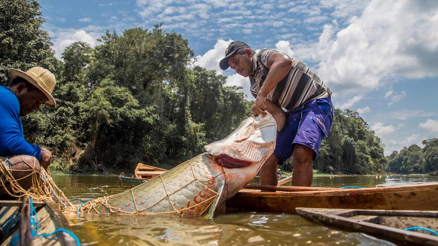Pirarucu é pescado na comunidade São Raimundo do Jarauá, no Amazonas - Aline Fidelix/Divulgação