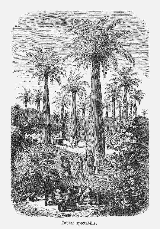 Cena de etapa da produção do vinho de dendê, publicada em 1893 - Getty Images - Getty Images