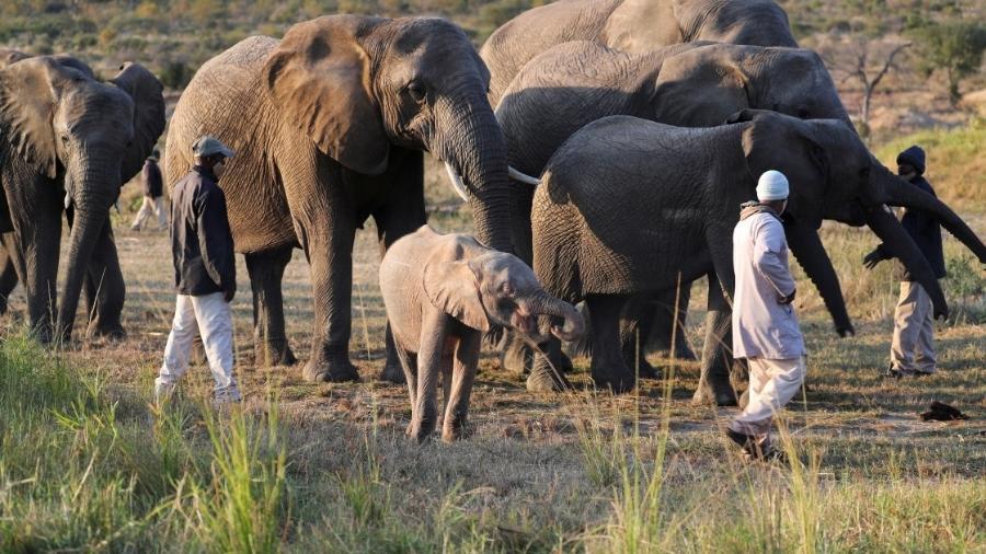 Filhote de elefante albino que caiu em armadilha se junta à manada com outros animais órfãos - REUTERS/ Sumaya Hisham