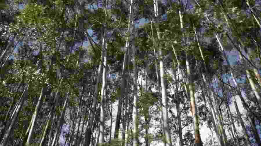 Áreas que concentram eucalipto são apelidadas de cemitério, porque é raro ver animais circulando por perto - BBC