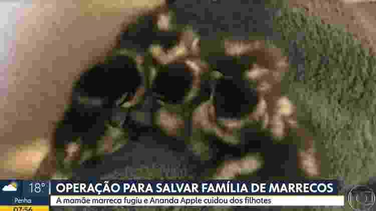 Marrecos - Reprodução/TV Globo - Reprodução/TV Globo