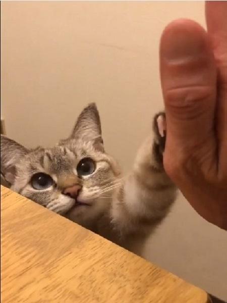 Gatinho cumprimenta tutor em vídeo - shijimi_mike/Reprodução Twitter