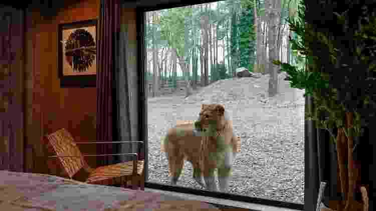 Na hospedagem Lion Lodge, os leões se aproximam nas enormes janelas de vidro - Divulgação