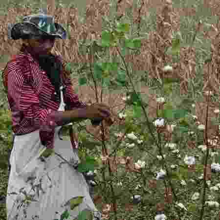 Colheita de algodão agroecológico na Paraíba - Governo da Paraíba - Governo da Paraíba