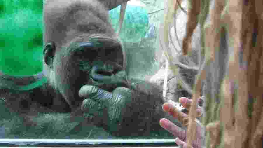 Ao ver os gorilas pela primeira vez, Prince-Hughes conta que teve uma epifania - Jo Fidgen