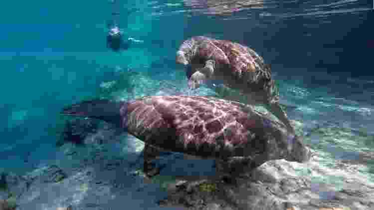 Manatees livre em Crystal River - Divulgação/Visit Florida - Divulgação/Visit Florida