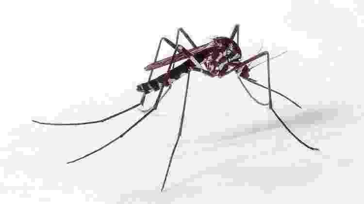 O Haemagogus é um dos transmissores da febre amarela silvestre. O outro mosquito que provoca a doença é o Sabethes - Genilton Vieira/IOC/Fiocruz