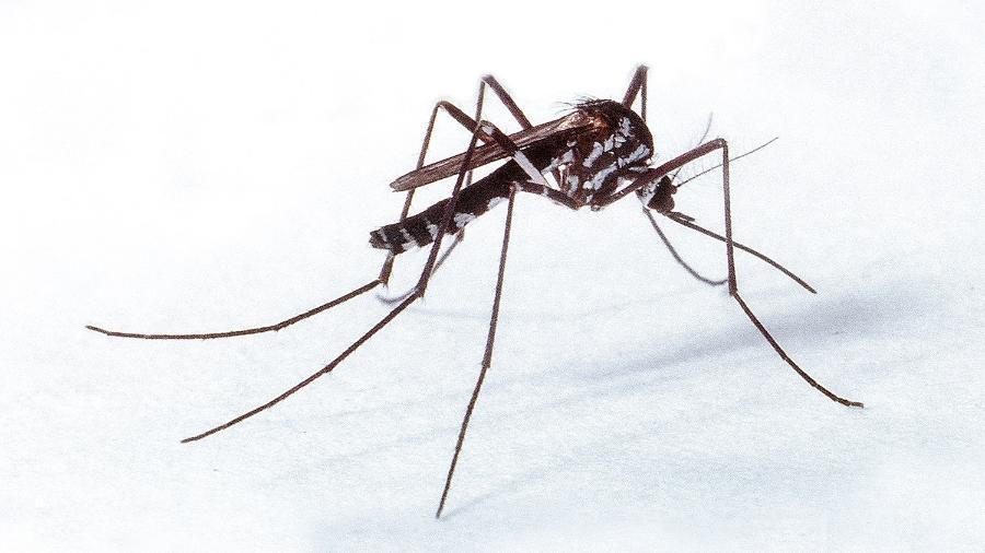 Mosquitos do gênero Haemagogus são apontados como principais transmissores da febre amarela silvestre no Brasil  - Genilton Vieira/IOC/Fiocruz