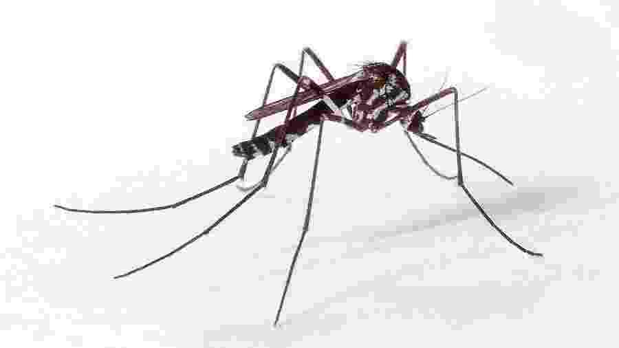 O mosquito Haemagogus, transmissor da febre amarela e do vírus mayaro - Genilton Vieira/IOC/Fiocruz