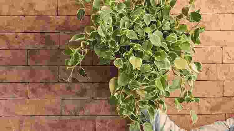 Peperômia: seria uma planta do rock, do rap ou do clássico? - Reprodução/Pinterest - Reprodução/Pinterest