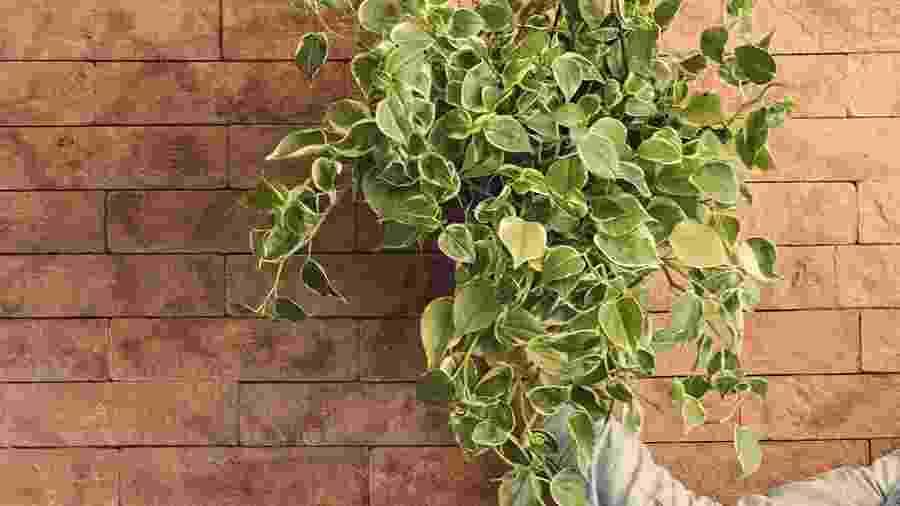 Saiba quais são os cuidados necessários para ter uma peperômia na decoração de casa - Reprodução/Pinterest