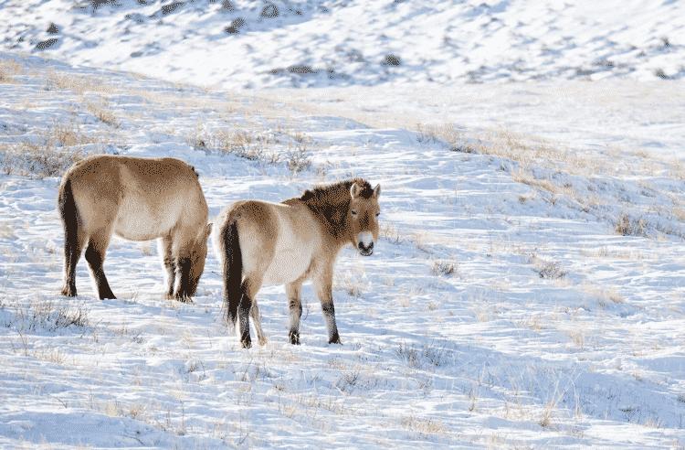 O cavalo-de-przewalski (Equus ferus przewalskii) - Garrett Ziegler/CC BY-NC-ND 2.0 - Garrett Ziegler/CC BY-NC-ND 2.0