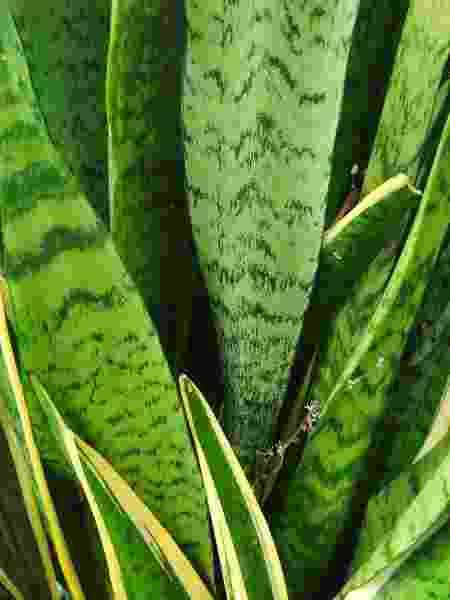 Espada-de-São-Jorge e Espada-de-Santa-Bárbara (com a borda amarela) - Getty Images/iStockphoto - Getty Images/iStockphoto