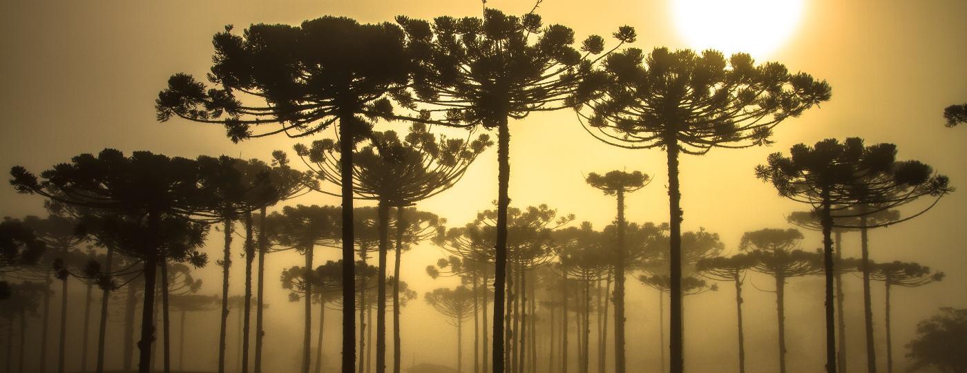 As araucárias compõem a paisagem no interior dos estados sulinos - Getty Images