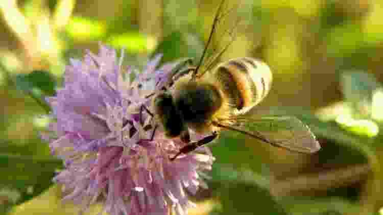 A abelha africanizada (Apis Mellifera) é altamente disseminada no Brasil. Generalista, ela tem grande capacidade na produção de mel - Thiago Gama Oliveira / CC BY-NC-SA