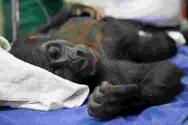Sawidi passa por cirurgia para correção de uma hérnia inguino-escrotal. Veterinários estão atentos para qualquer sintoma de Covid em animais silvestres - Herlandes Penha Tinoco/Zoo BH - Herlandes Penha Tinoco/Zoo BH